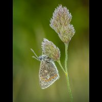 20#Dew Covered Common Blue