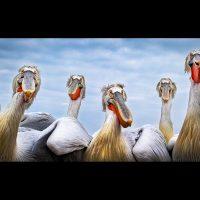 20#Pelican Crew#Alex Anderson ARPS