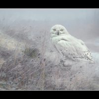 20#Snowy Owl on Misty Moor#Brian Tarr
