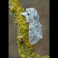 20_Male Puss Moth by Trevor Davenport ARPS DPAGB BPE5