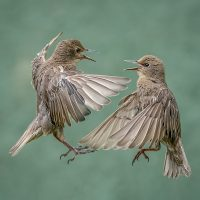 20_Sue Critchlow_Starlings Squabbling