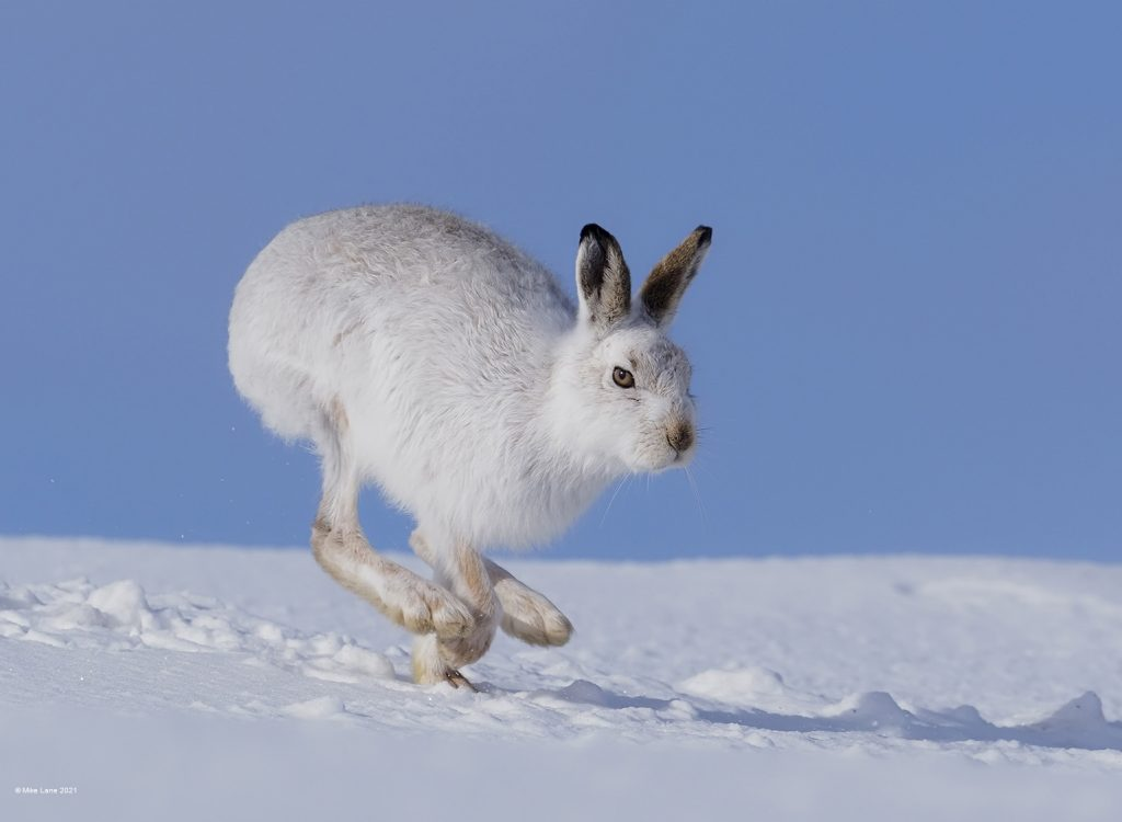 Mountain Hare ML