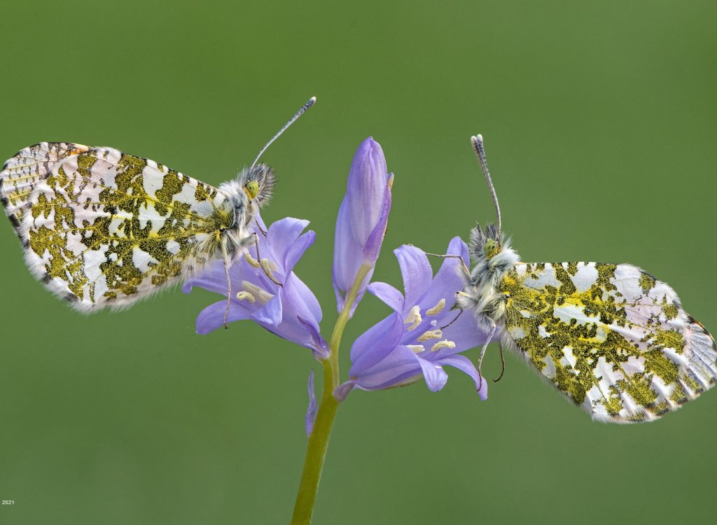 Orange Tips on Bluebell