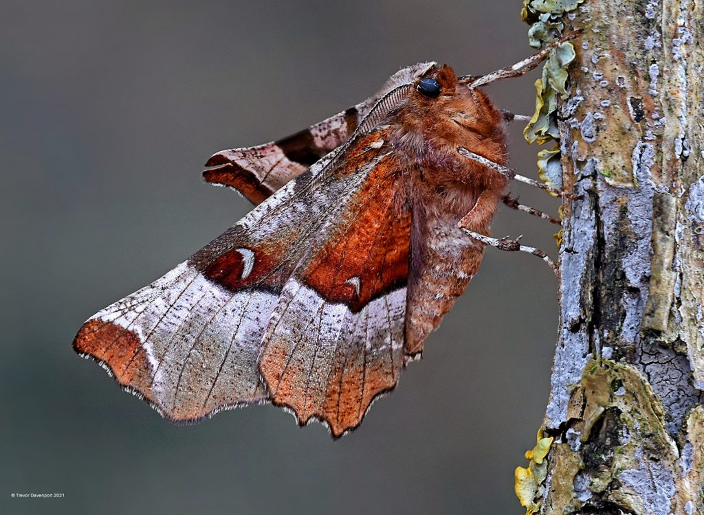 Purple Thorn Moth 1st Generation